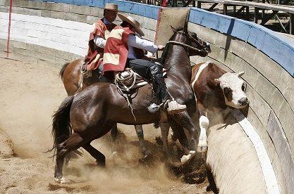"""Encuesta tuitera de El Sol de Iquique indica que el 73% de los participantes consideran el rodeo """"Maltrato animal"""""""