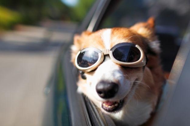 """Ojo solo domésticas ni elefantes, menos boas: Ahora se podrá viajar  con mascotas en """"Easy"""""""